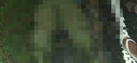 ម៉ូតូម៉ាកហុងដា MSX បុកសត្វគោងាប់មួយក្បាល រីឯមនុស្សរងរបួសធ្ងន់